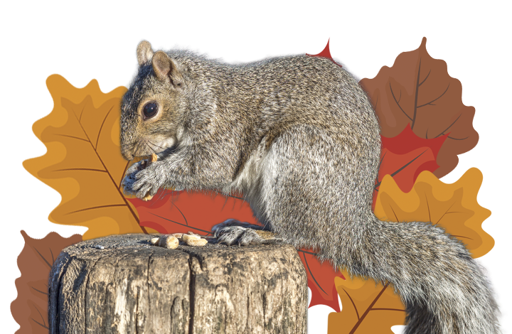 Why do squirrels hide their nuts?